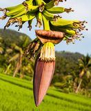 Flower of a banana. Red flower of a banana against green leaves Stock Images