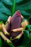 Flower of the banana Royalty Free Stock Photo