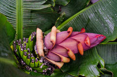 Flower of the banana Royalty Free Stock Photography