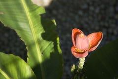 Flower of banana Stock Images