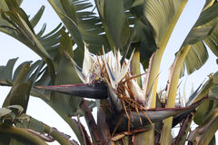 Flower in banana tree Stock Photo