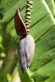 Flower on banana tree Stock Images
