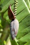 Flower on banana tree Stock Images