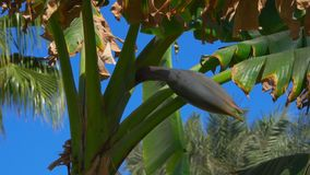 Flower banana on a tree against a bright blue sky. Movement of the camera along the flower of a banana on a tree against a bright blue sky stock video footage