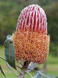 Flower - Banksia Menzies Stock Photography