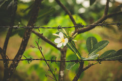 Flower and barb wire Royalty Free Stock Photography