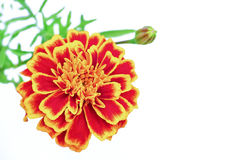 Flower Barchatsi Tagetes. Flower Barchatsi Tagetes on a white background grow in the summer royalty free stock photos