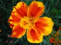 Flower barhatets(velvet ribbon). Stock Image