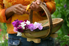 Flower basket. Woman carrying a flower basket with freshly picked lathyrus flowers Stock Photos