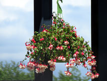 Flower Basket with Bleeding Heart Plant. Covered in a profusion of  red and pink flowers hanging outside on the porch with windows behind Royalty Free Stock Photo