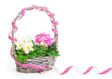 Flower basket with primroses Royalty Free Stock Photography