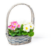 Flower basket with primroses Stock Photo