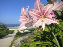 Flower Beach Beauty: White and Pink Flowers Close Up in Beach Landscape. At a beautiful beach, pretty white flowers with pink lines in the foreground, and a path Royalty Free Stock Photography