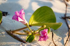 Flower on the beach. Mexico. Stock Images