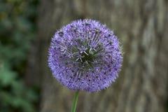 Flower bear bow. Allium schoenoprasum. Royalty Free Stock Image
