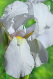 Flower of bearded iris closeup Royalty Free Stock Photos