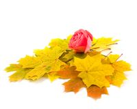 Flower beautiful. Scarlet rose and yellow autumn leaves of maple on white background Stock Photo