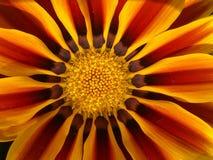 Flower beautiful bicolor petals Stock Photos