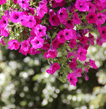 Flower. Beautiful and blooming petunia in the garden Stock Images