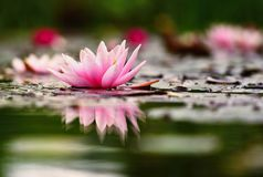 Flower. Beautiful blooming water lily on the water surface. Natural colorful blurred background. Nymphaea Royalty Free Stock Image