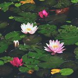 Flower. Beautiful blooming water lily on the water surface. Natural colorful blurred background. & x28;Nymphaea& x29; Royalty Free Stock Photography