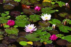 Flower. Beautiful blooming water lily on the water surface. Natural colorful blurred background. & x28;Nymphaea& x29; Royalty Free Stock Images