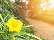 Flower. Beautiful bright yellow flower growthing on wayside and orange light shining side , space for text Stock Photos