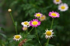 Flower. The beautiful  chrysanthemum indicum in green background before Stock Image