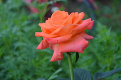 Flower. Beautiful and cute flowers in garden stock photos