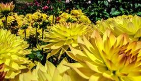 Flower. The beautiful Dahlia Flower of garden Stock Images