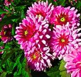 Flower. The beautiful Dahlia Flower of garden Royalty Free Stock Photo