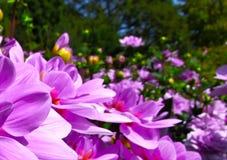 Flower. The beautiful Dahlia Flower of garden Stock Photos