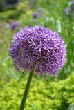 Purple Allium Stock Images