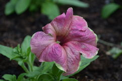 Flower. Beautiful fresh flower in garden royalty free stock photo