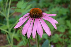 Flower. Beautiful fresh flower in garden royalty free stock image