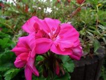 Flower. Beautiful Flower of the Garden in Mainau stock photo