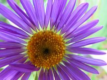 Flower beautiful Kata Aster royalty free stock photo