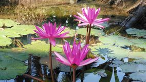Flower. A beautiful lotus flower stock images