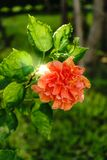 The flower is beautiful orange color at on outdoor park in thailand.  royalty free stock image