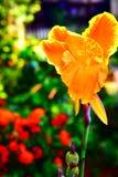 FLOWER. A BEAUTIFUL ORANGE FLOWER IN A GARDEN Stock Image