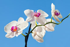 Flower beautiful  orchid -  phalaenopsis Stock Photography