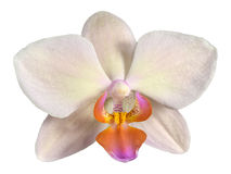 Flower of beautiful orchid Phalaenopsis in cream color Stock Photography