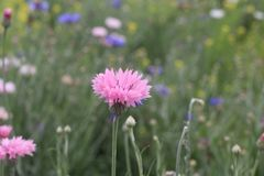 Flower. Beautiful Pink flower on the hill royalty free stock photo