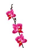 Flower beautiful pink orchid - phalaenopsis Stock Image