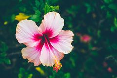 The flower is beautiful pink at on outdoor park in thailand stock photos