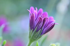 Flower. Beautiful puprle flower in bloom royalty free stock photos