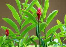Flower, beautiful red flower and plants in Costa Ricansummer royalty free stock image