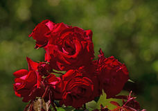Flower. Beautiful red rose flower with buds Royalty Free Stock Image