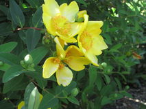 Flower. Beautiful yellow flower good for wall-paper, Screen saver and more Stock Images