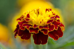 Flower. Beautiful yellow flower, marigolds,  CU Royalty Free Stock Images